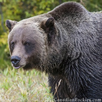 Discover Grizzly Bears from Banff